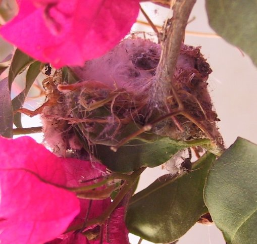 "Tiny hummingbird nest is less than 2"" in diameter!"