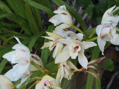 Cymbidium orchids are easy to grow in Reynier Village