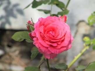 reynier-rose