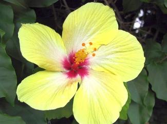 IMG_0025-yellow-hibiscus
