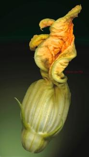Squash blossom © Raphael Sloane 2009