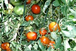 Markene's tomatoes