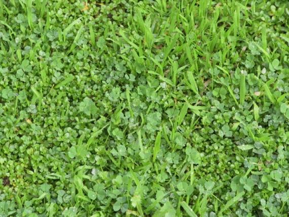 fresh grass from rain, jan 22, 2010