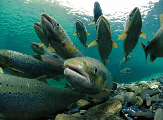 spawning-atlantic-salmon