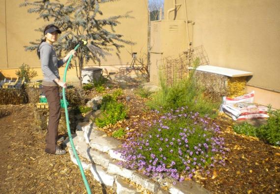 watering the verbena
