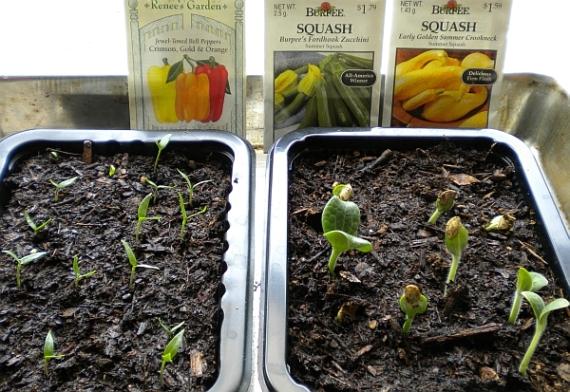 Bell pepper, zucchini and summer squash