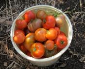 bucket of tomatoes